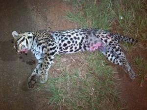 Leopardo atropellado